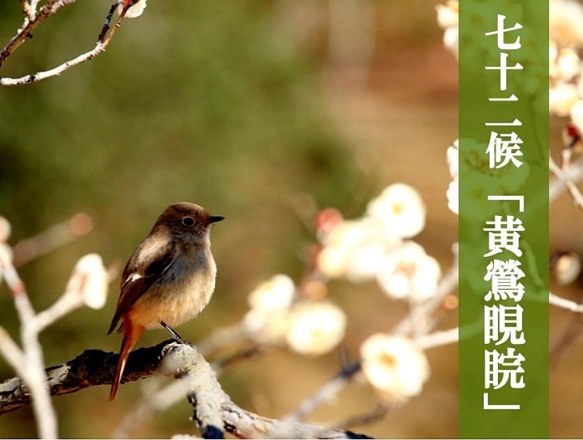 黄鶯.jpg
